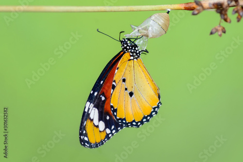 Foto op Aluminium Vlinder Monarch Butterfly drying its wings after metamorphosis.