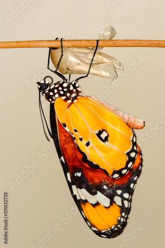 Fotobehang Vlinder Monarch Butterfly drying its wings after metamorphosis.