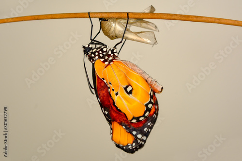 Tuinposter Vlinder Monarch Butterfly drying its wings after metamorphosis.