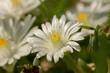 Biały, polny kwiatek
