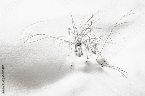Fototapeta  Windswept grasses make curving patterns in the bright white winter snow along a