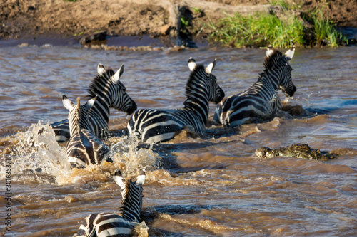 Zebras are crossing mara river with crocodilles approaching Wallpaper Mural