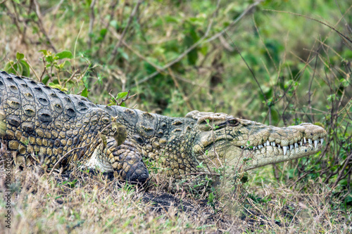 Big Crocodille laying on the river bank scouting for prey in kenya/africa Canvas Print