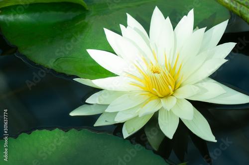 Deurstickers Waterlelies 鮮やかな睡蓮の花