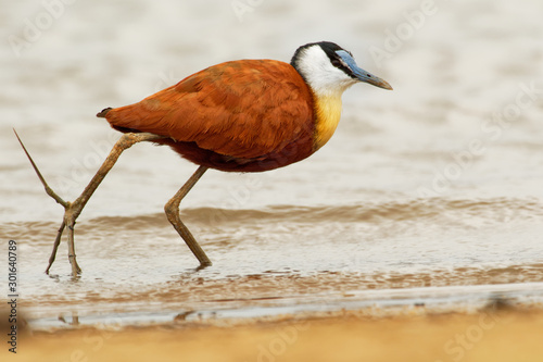 Photo African Jacana - Actophilornis africanus  is a wader in the family Jacanidae, id