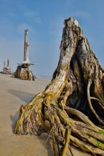 Tree Stumps As Beach Erodes