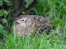 Fledgling Female Ringneck Pheasant Near Montrose Basin, Scotland