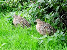 Fledgling Female Ringneck Pheasants Near Montrose Basin, Scotland