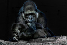 A Gorilla Mother Playing With ...