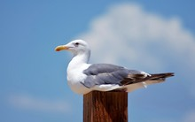 Seagull Perched On Post