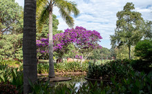 Water Pond Feature In Tropical Garden With Purple Flowers Adorning Tibouchina, Palm Tree, Cana Lilies
