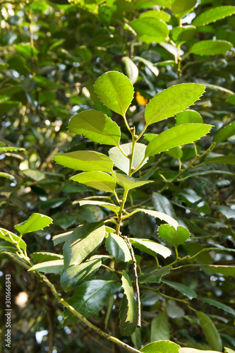The green  leaves of a false camphor tree, Cinnamomum glanduliferum Fototapeta