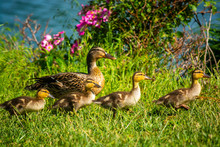 Female Mallard Duck With Four ...