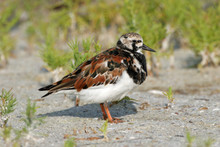Ruddy Turnstone - Arenaria Int...