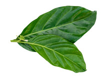 Noni Leaves Isolated On White.