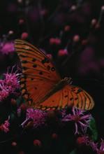 Gulf Fritillary Butterfly (Agr...