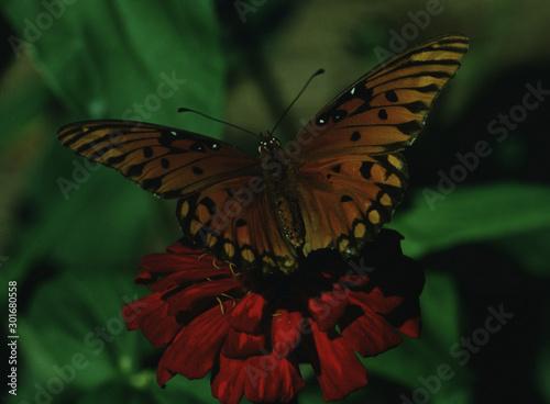 Gulf Fritillary Butterfly (Agraulis Vanillae)