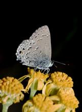Hairstreak Butterfly (Hypaurot...