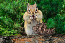 Funny Chipmunk Eating Cedar Nu...