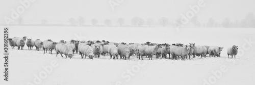 Foto op Canvas Schapen winter sheeps