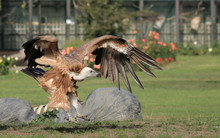 A Brown Eagle Is Preying On Its Prey On The Grass