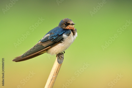 Recess Fitting Bird Hirundo rustic or pacific swift small fat bird perching on thin bamboo twig over green rice farm, barn swallow