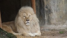 A White Lion Is Sitting In A C...
