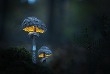 Yellow Glowing Mushrooms On Moss With Spruce Twig