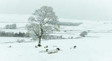 Swaledale Ewes In Snow