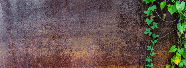 Panoramic grunge rusted metal texture with creeping plant. Overgrown plant on...