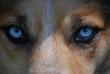 canvas print picture - Wolf Blick Blau Augen Intensiv