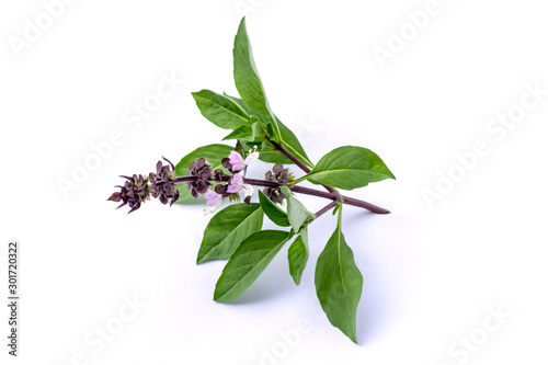 Closeup green fresh basil leaves (Ocimum basilicum) with flower isolated on white background. Herbal medicine  plant concept. - 301720322