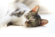 Short Hair Cat Portrait Restin...