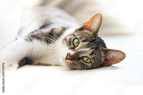 Foto  Short hair cat portrait resting on sofa  looking at camera
