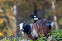 Pygmy Goat (Capra Aegagrus Hircus - Pica Pica) With Magpie Sitting On Its Back During A Sunny Autumn Day In November.