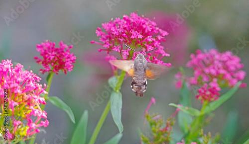 Fotografie, Obraz closeup of a hummingbird hawk-moth