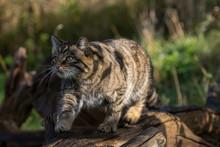 Scottish Wildcat, Felis Silvestris Grampia, Walking Along A Log On A Sunny Warm Autumn Day In November.