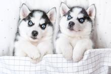 Two Siberian Husky Puppies Lie...