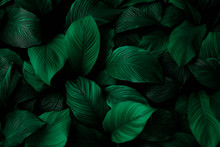 leaves Of Spathiphyllum ...