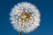 A dandelion seed head, Taraxacum officinale, on blue background.