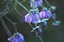 Beautiful, Withered Flowers In...