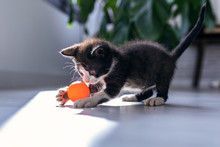Little Black Kitten Playing An...