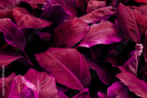 Foto auf Leinwand Blumen leaves of Spathiphyllum cannifolium, abstract colorful texture, nature background, tropical leaf