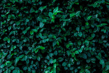 Abstract Green Leaf Texture, N...