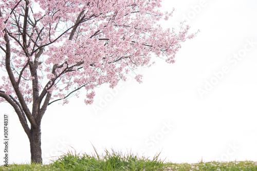 Leinwand Poster 土手に咲く一本桜