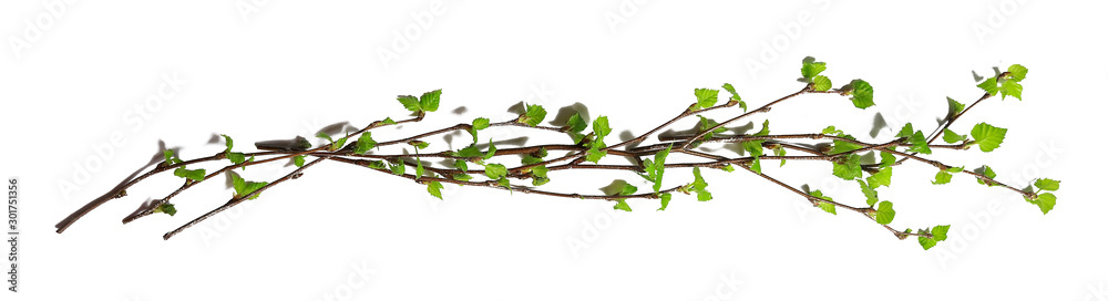 Fototapeta white background branches small leaves spring / isolated on white young branches with buds and leaves, spring frame