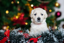 Golden Retriever Puppy Portrai...