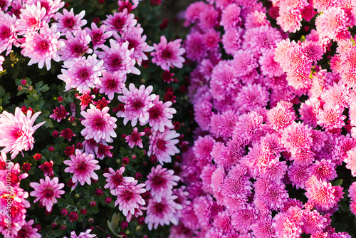 Bright blooming chrysanthemums in a blooming garden in autumn Wallpaper Mural