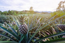 Pineapple Tropical Fruit Growing In Garden With Mountain Background