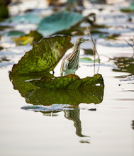 A Chinese Pond Heron Standing ...